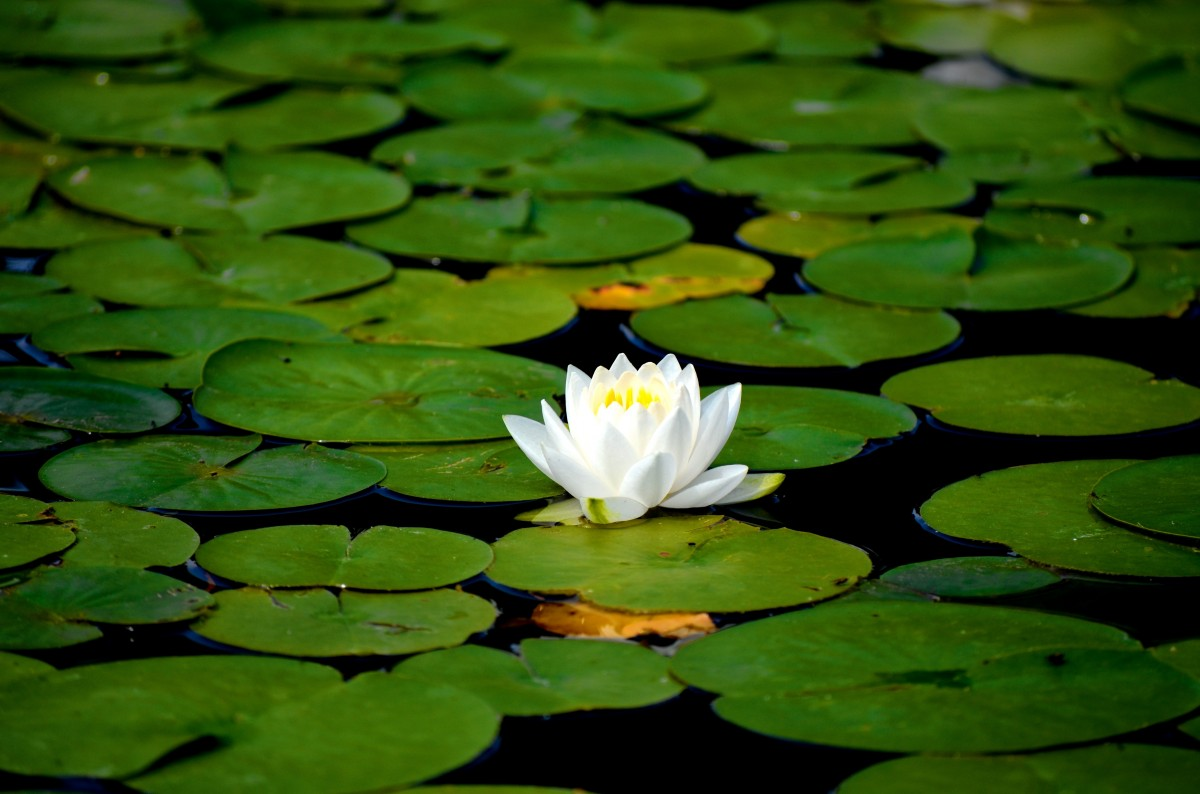 water_lily_flowers_aquatic_plant_white_water_lily_pond-728386-1.jpgd_-1.jpg